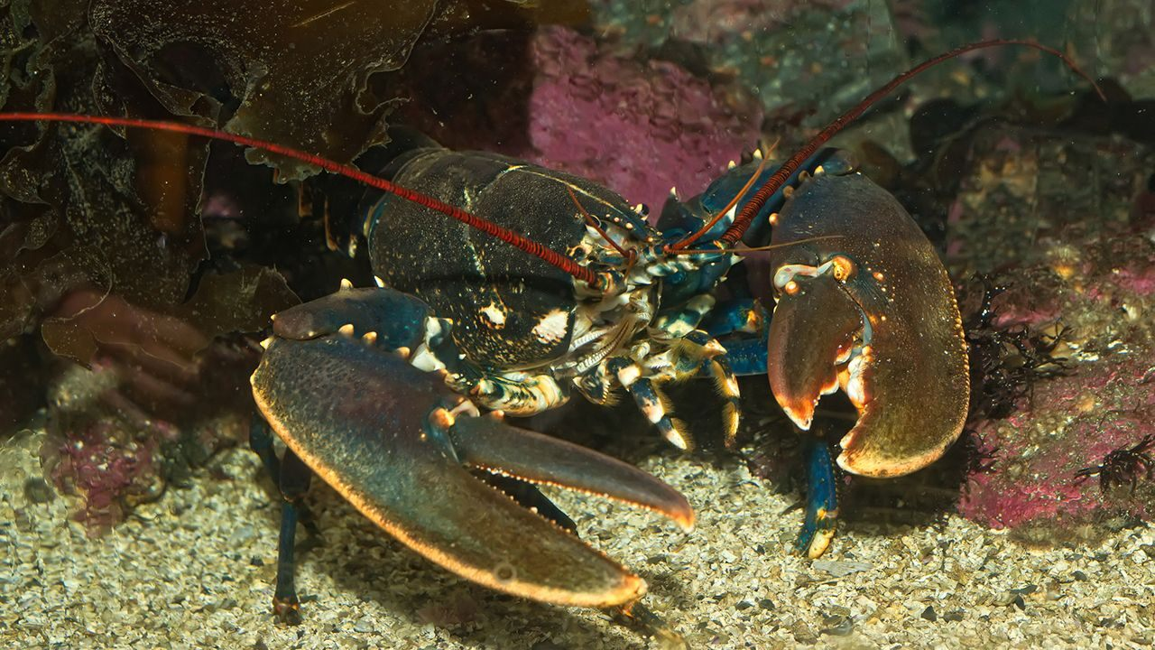 New tariffs of China are affecting Maine's lobster industry, says US Senator Angus King